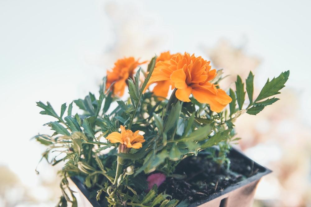 potted orange petaled flower