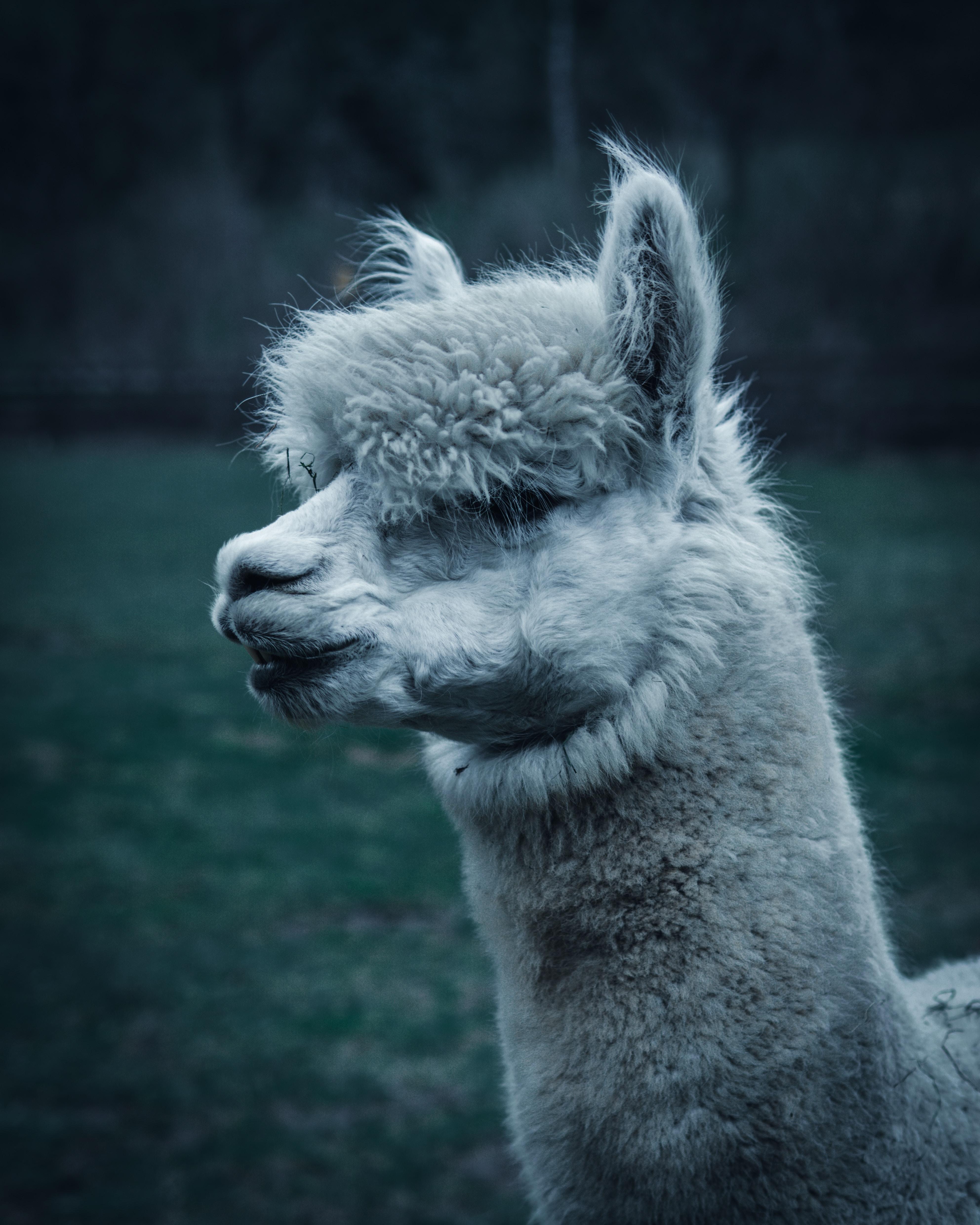 close-up photo of white llama