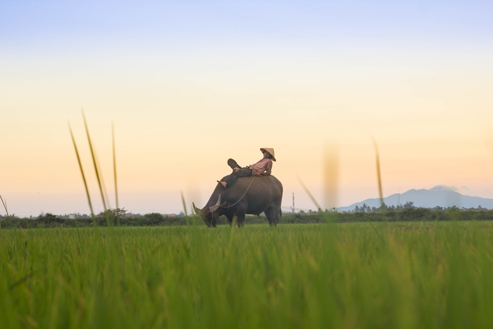 person riding black buffalo on green fields