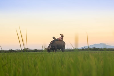 person riding black buffalo on green fields vietnam teams background