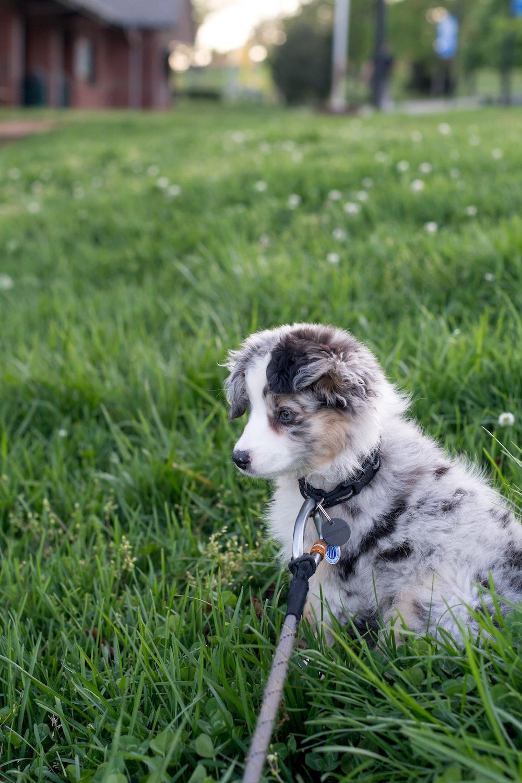 white and tan Corgi puppy