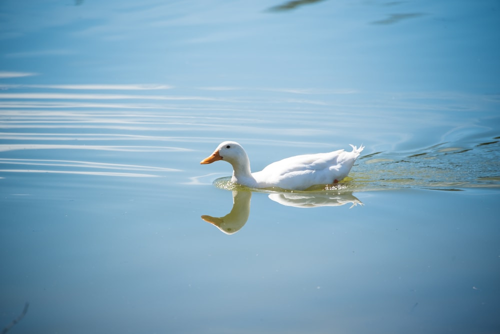 white duck on body of water