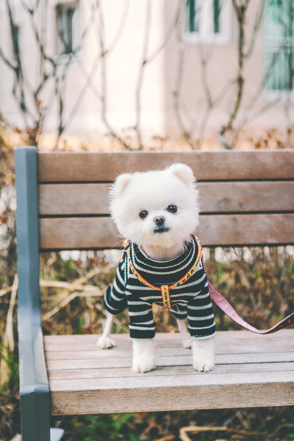 white puppy wearing black and white striped shirt standing on park bench