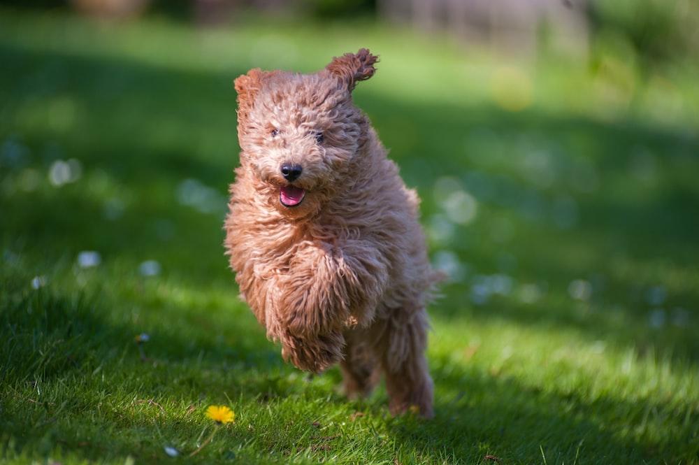 brown long-coat dog running on green grass field