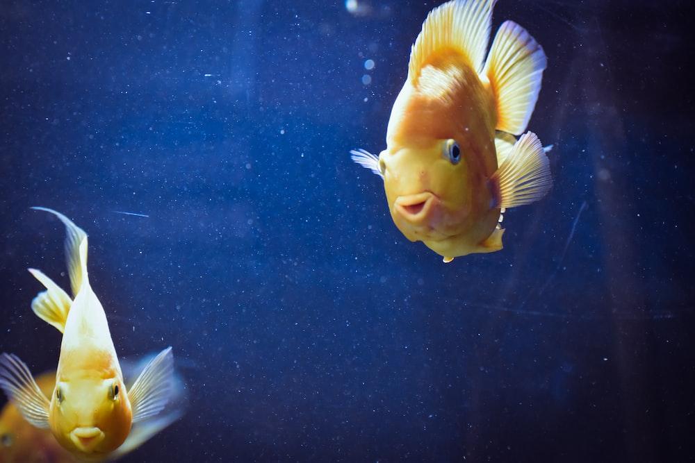 two common goldfish
