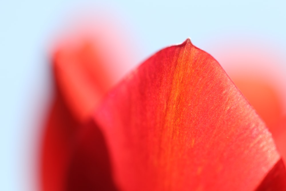red petals wallpaper