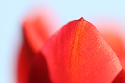 red petals wallpaper petal zoom background