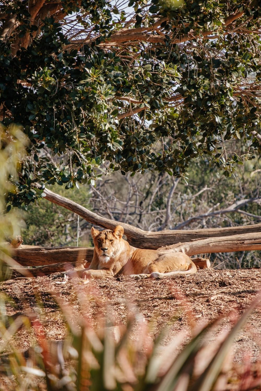 brown lioness lying near tree log