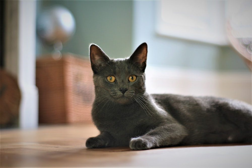 selective focus photography of cat lying on floor