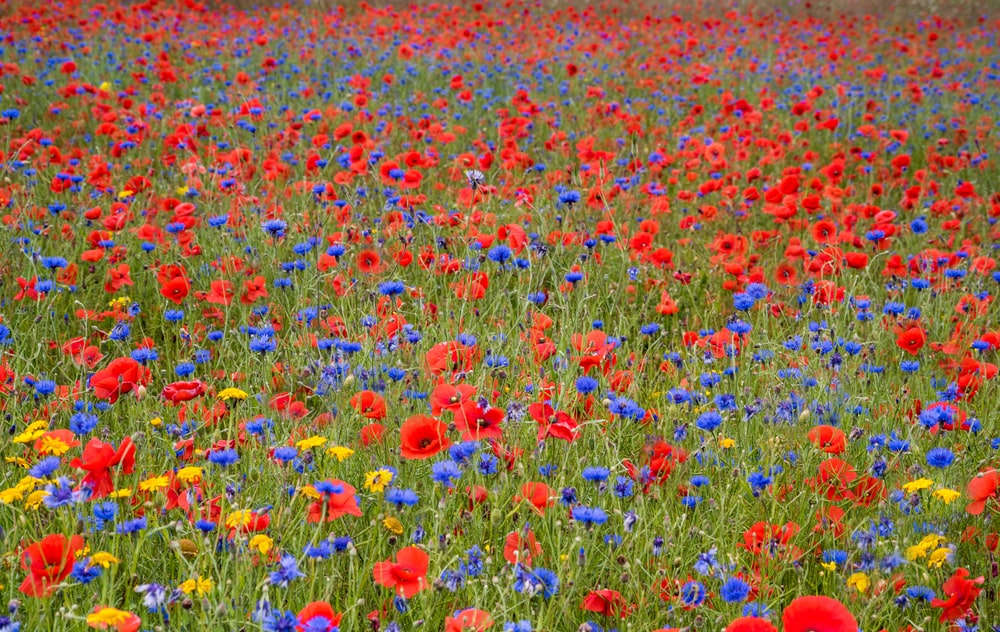 bed of red and blue flowers