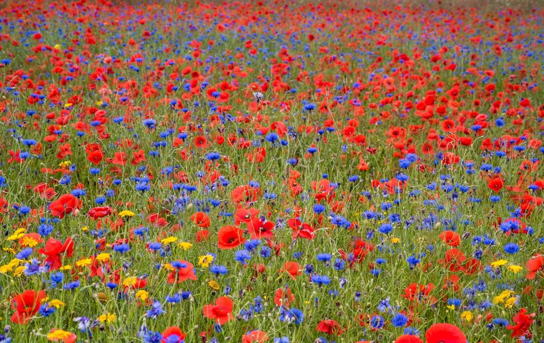 Carpet of poppies and cornflowers .