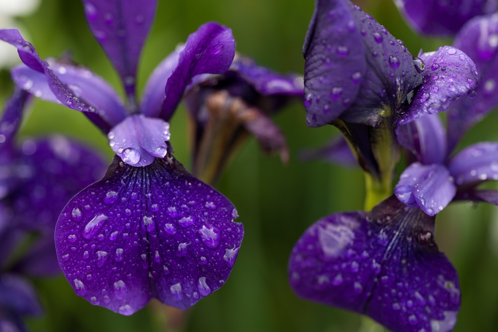 purple moth orchids