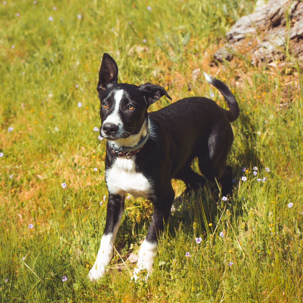 black-and-white dog standing on grass