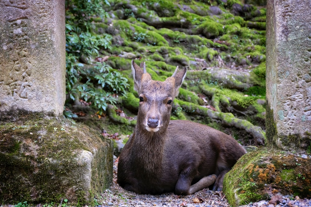 prone lying deer