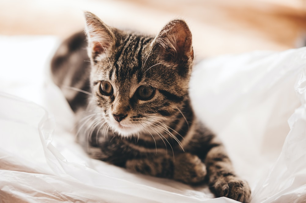 selective focus photography of brown tabby kitten on white textile