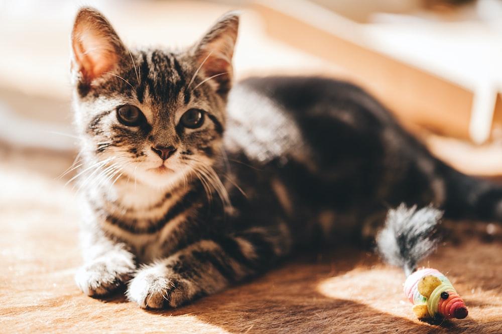 brown tabby cat on carpet