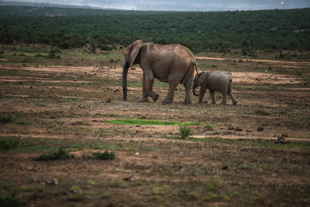 two elephants walking on ground