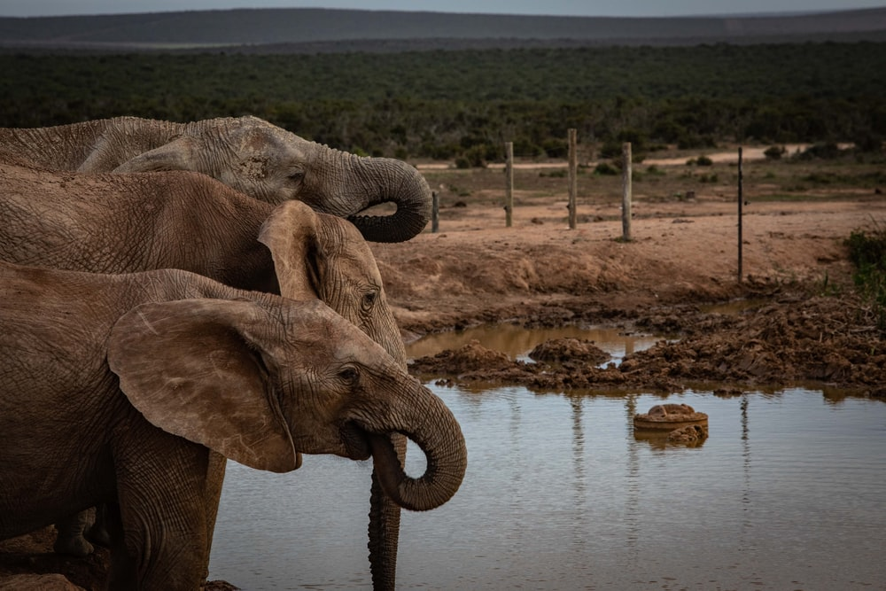 three elephants near body of water