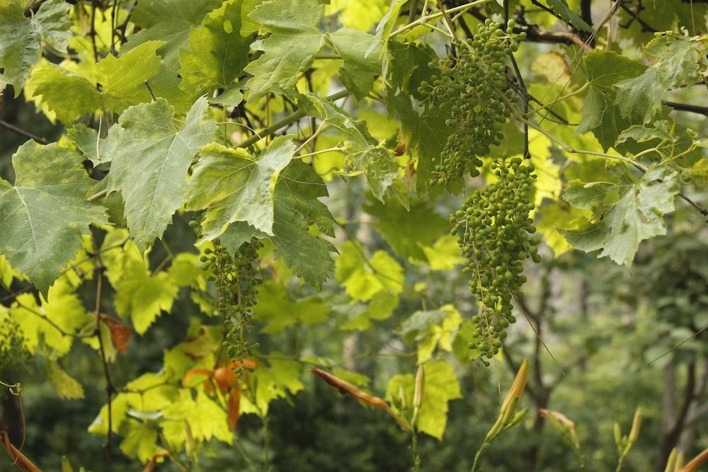 Grape Leaf Pictures Download Free Images On Unsplash