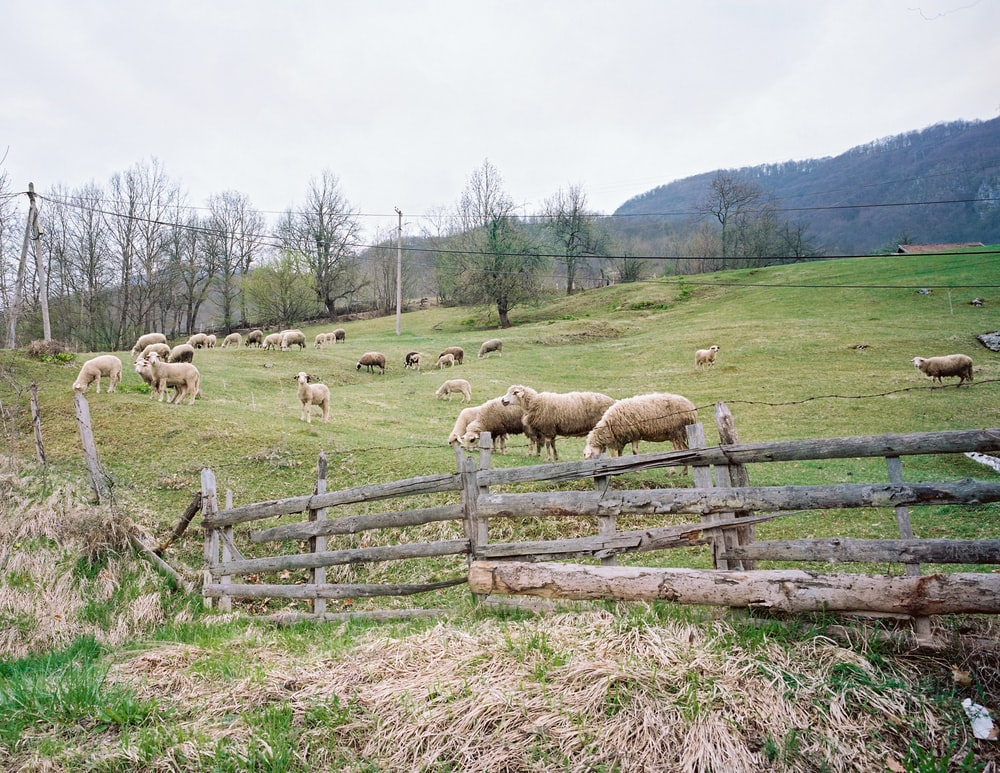 beige sheep on green grass field