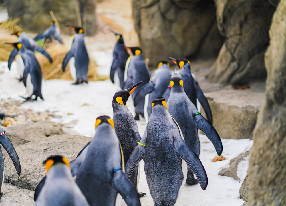 group of penguin walking on mountain