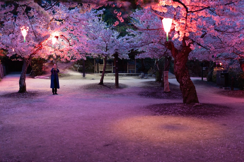 person standing near cherry blossom trees