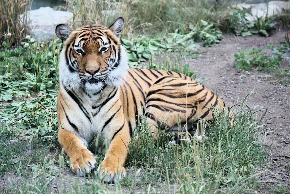 Bengal tiger reclining on green grass