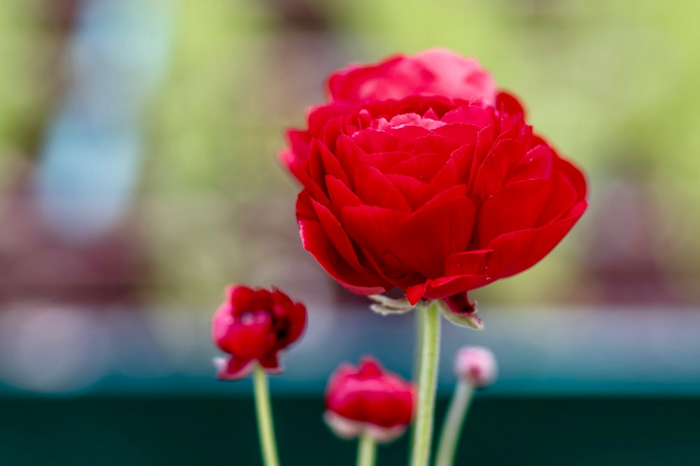 close view of red garden rose