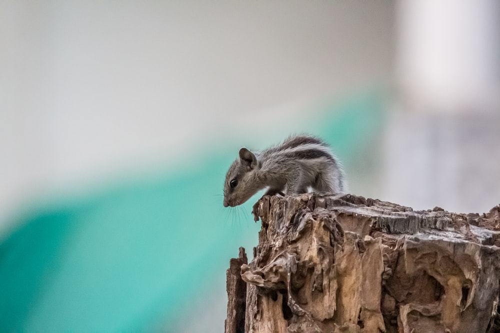 gray rodent on brown wood