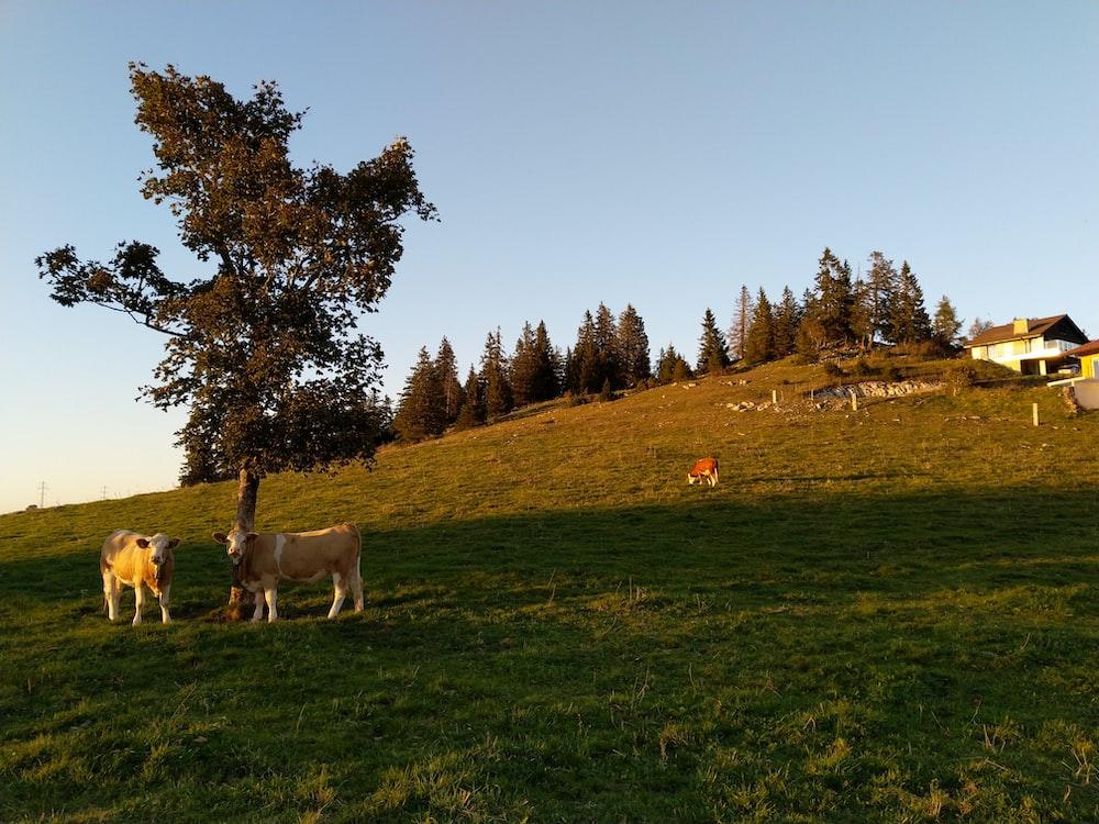 two cattle beside tree