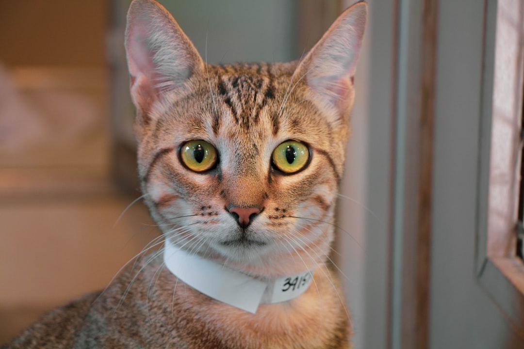 Cat facing front in Humane Society Honolulu, Hawaii