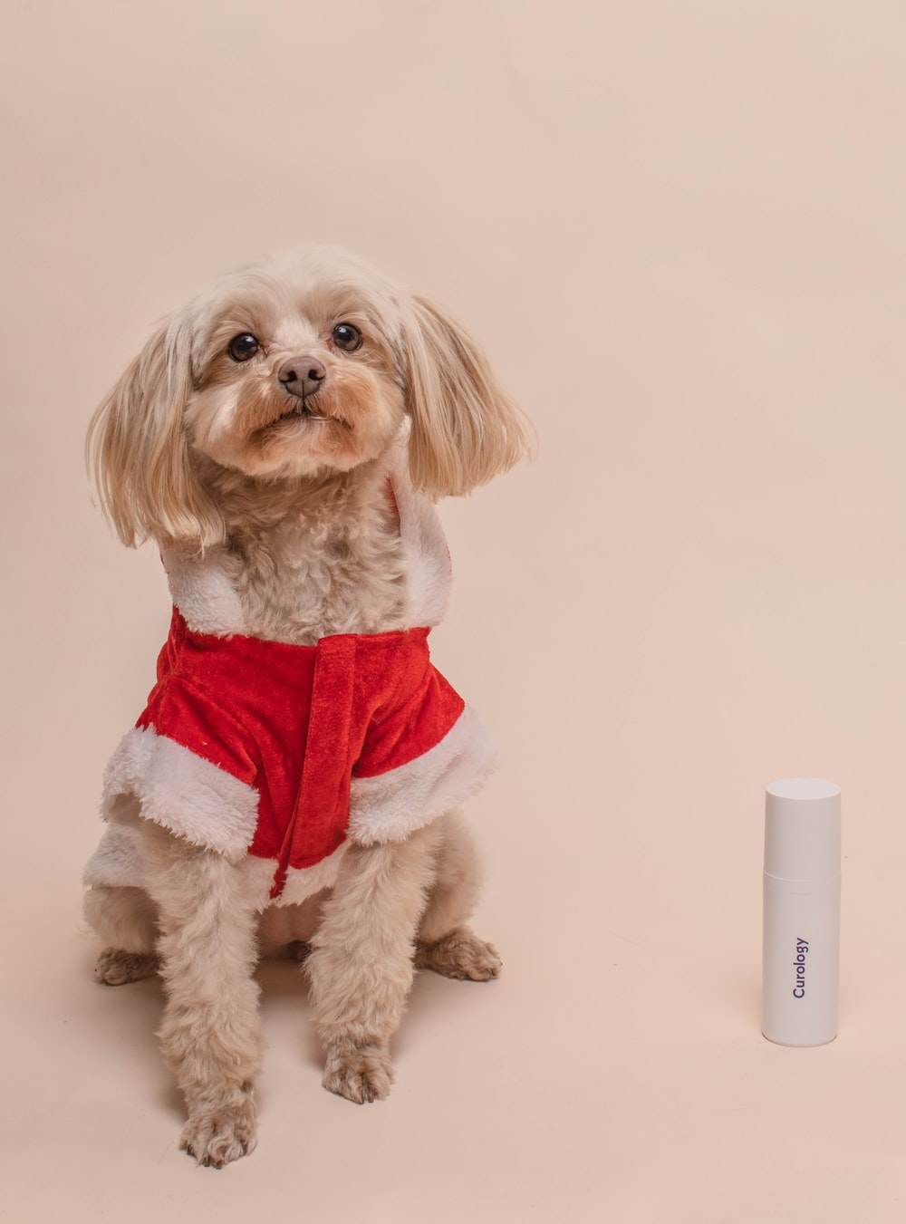 long coated beige dog wearing red and white top