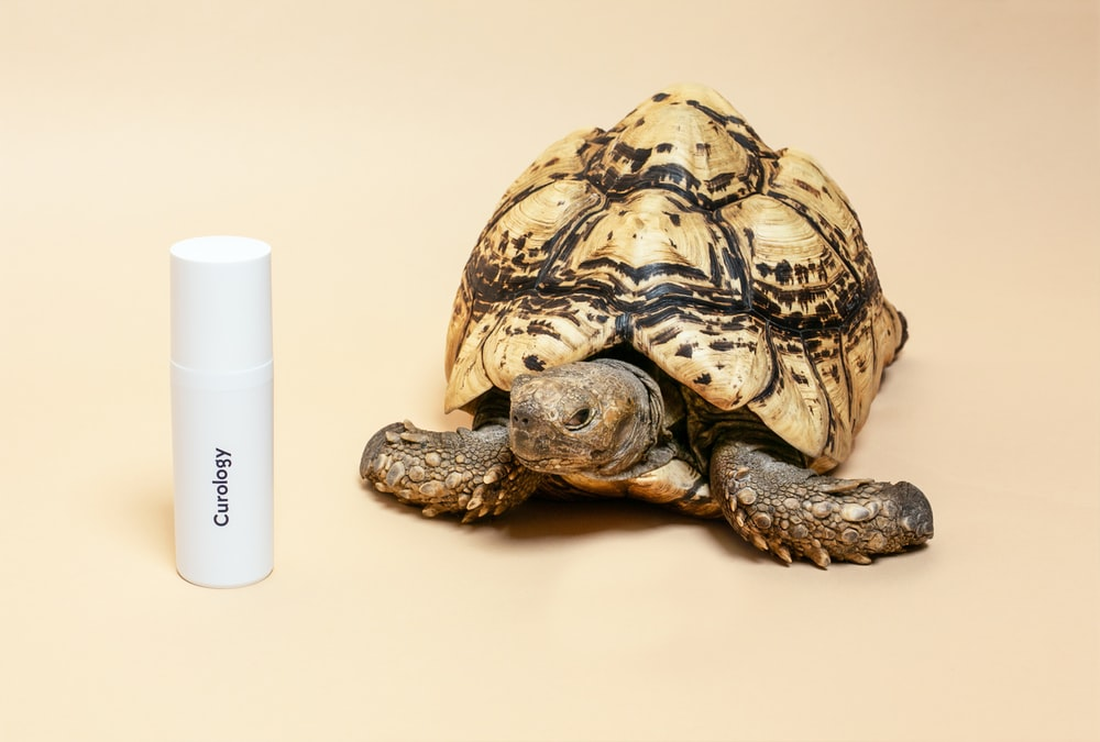 brown tortoise