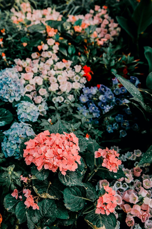 blue and pink hydrangeas