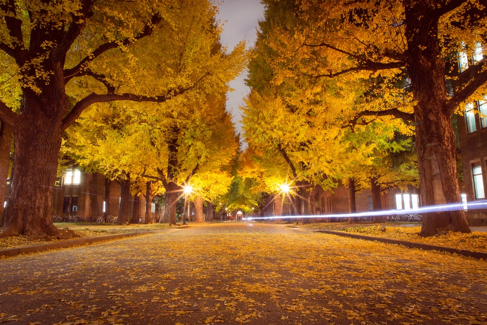 yellow leaves on road between trees