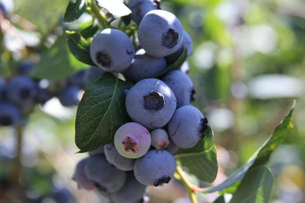 close-up photo of purple fruits