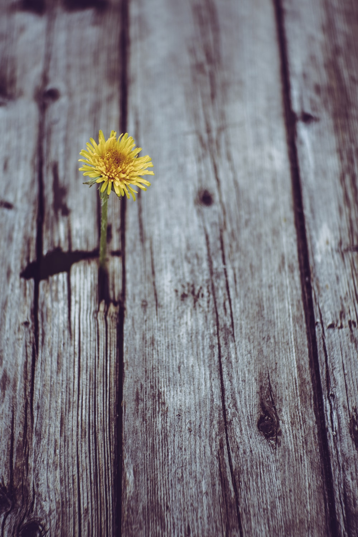 blooming yellow gerbera daisy flower on gray plank
