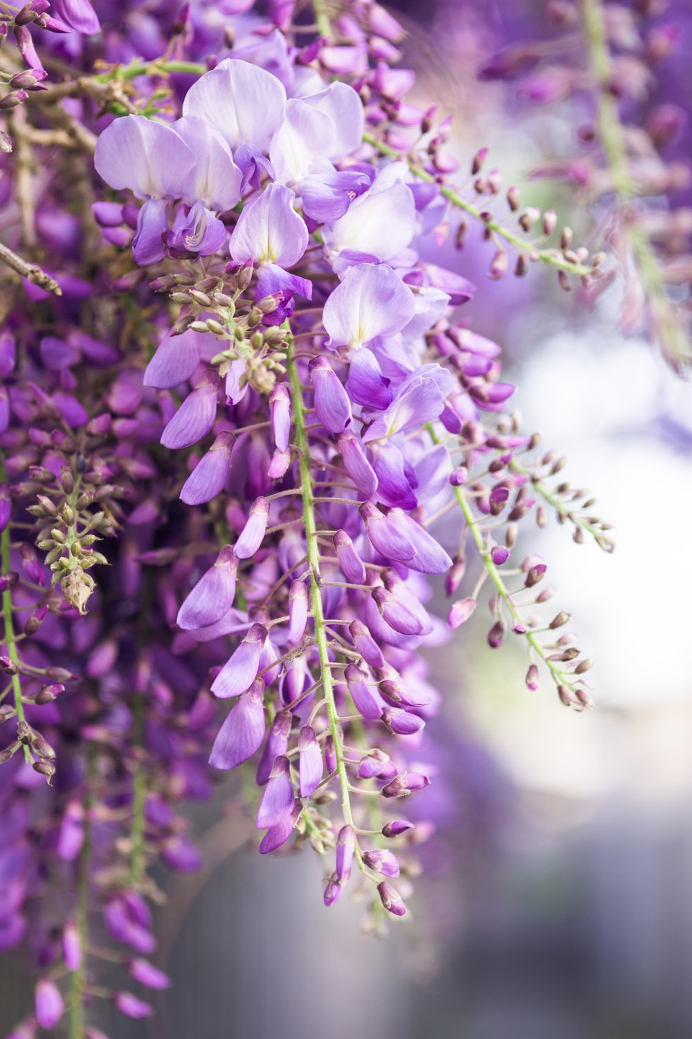 selective focus photography of wisteria flowers during daytime