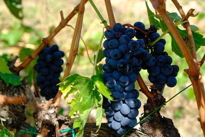 bunch of purple grapes in close-up photography