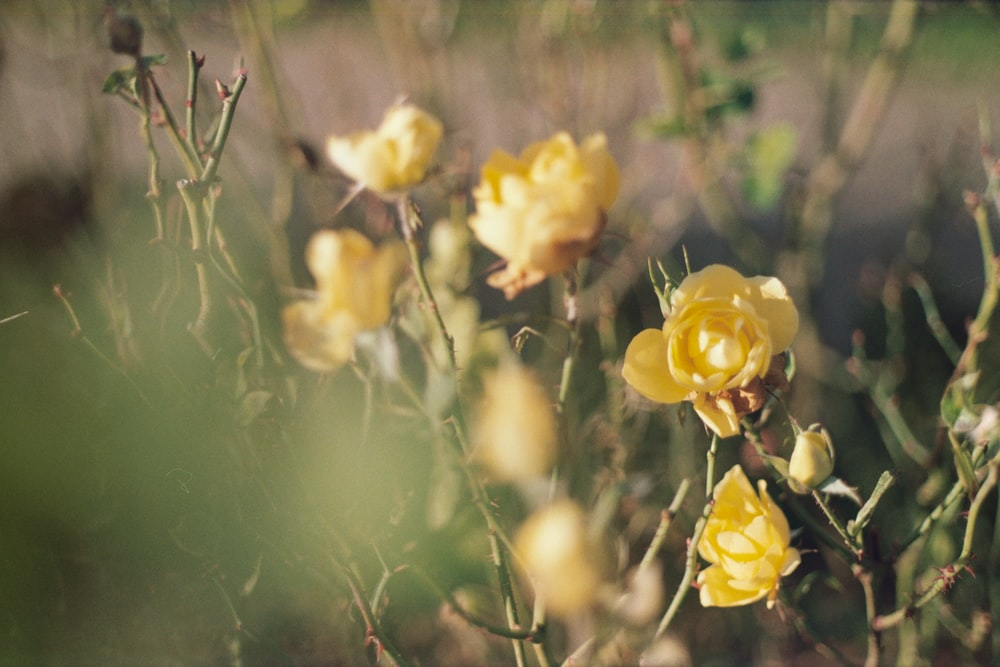 Yellow Roses Pictures Download Free Images On Unsplash