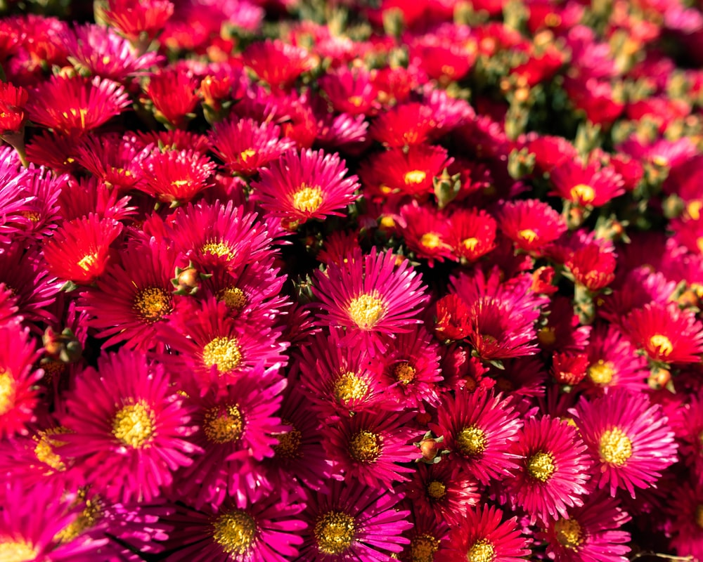 pile of pink daisies