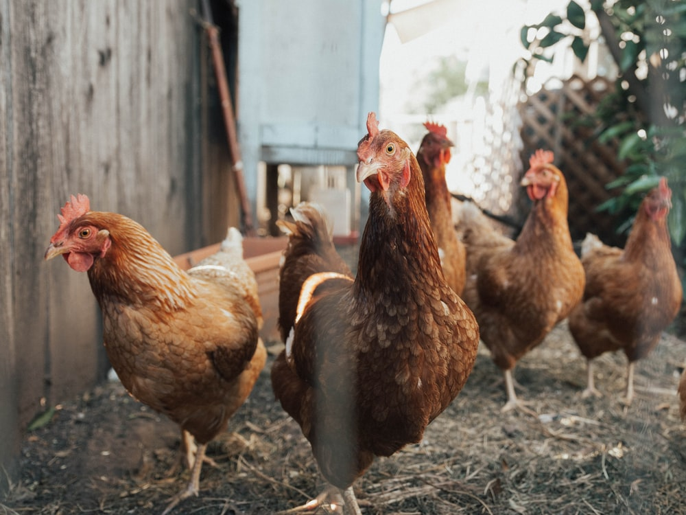 five brown hens on ground beside fence