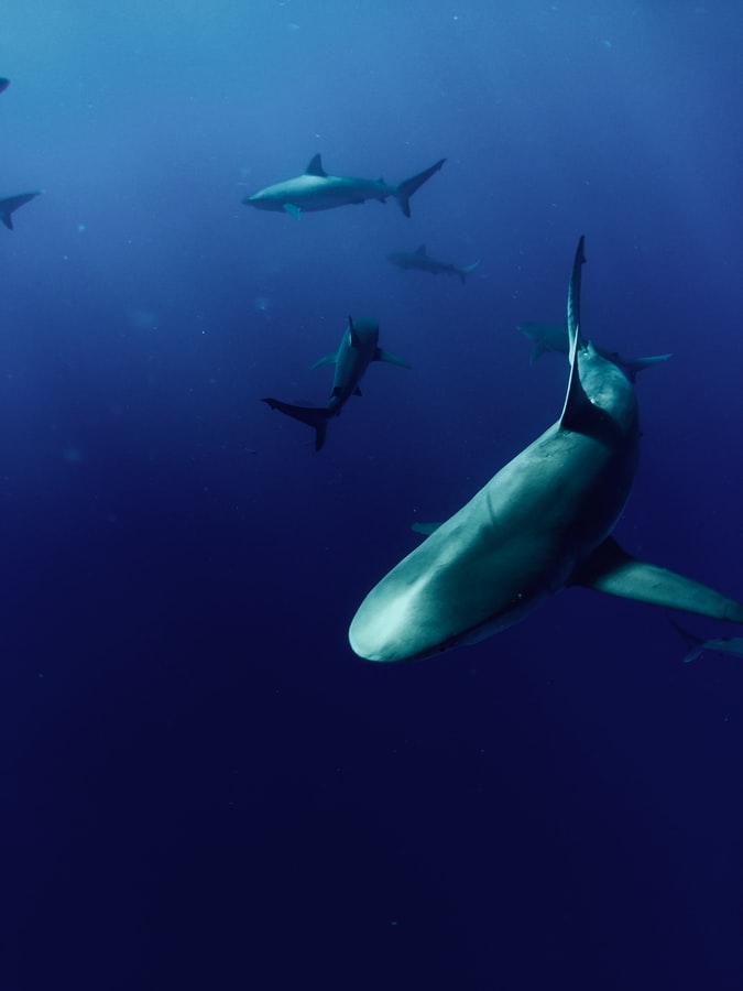 Sharks swimming in the sea