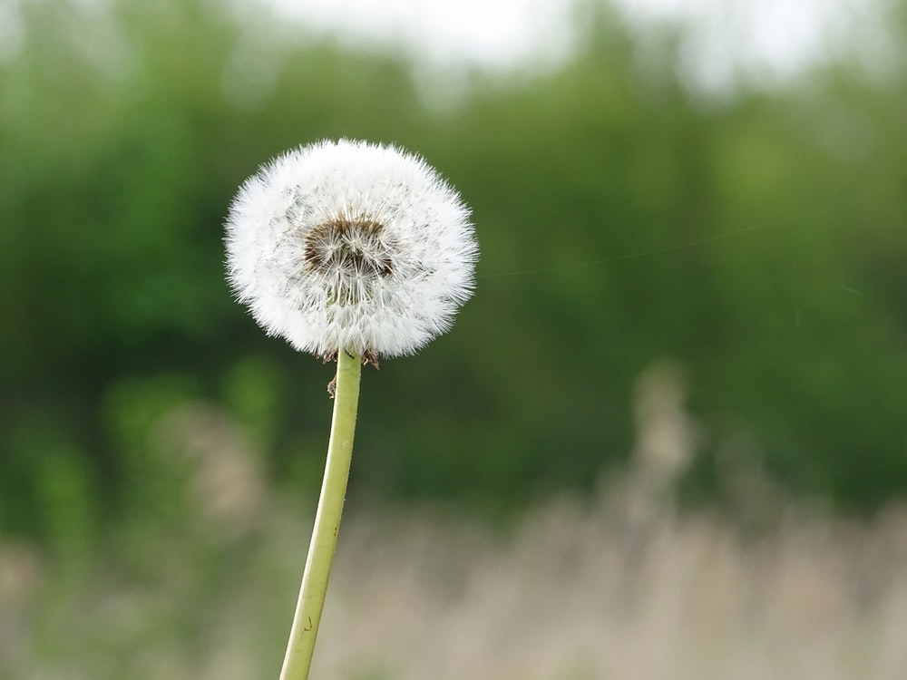focus photography of dandelion flower