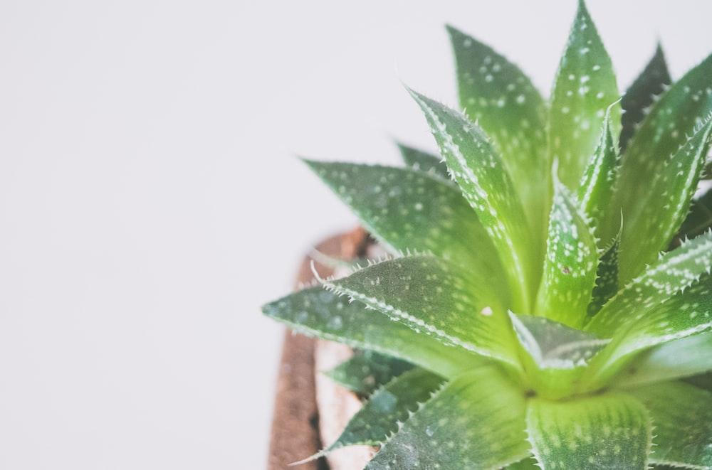green Aloe vera plant
