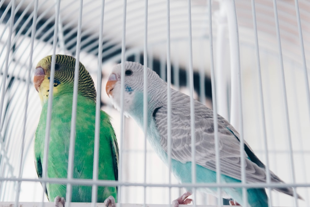 two green and gray birds in cage close-up photography
