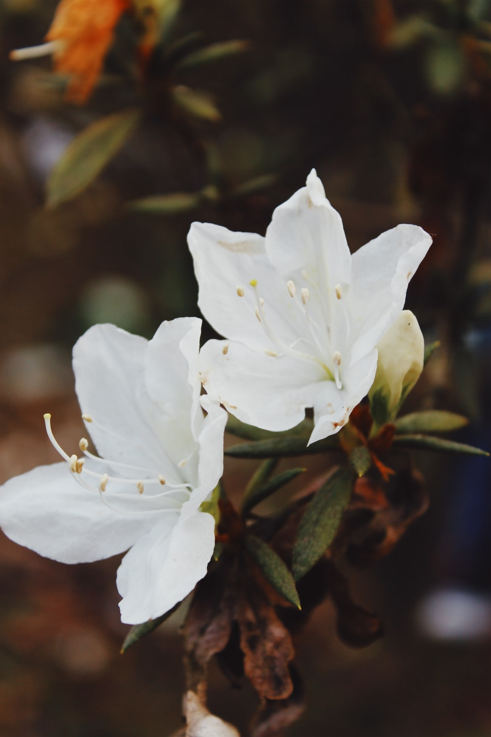 two white-petaled flowers