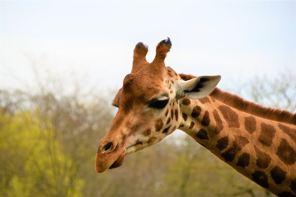 brown and black giraffe during daytime close-up photography