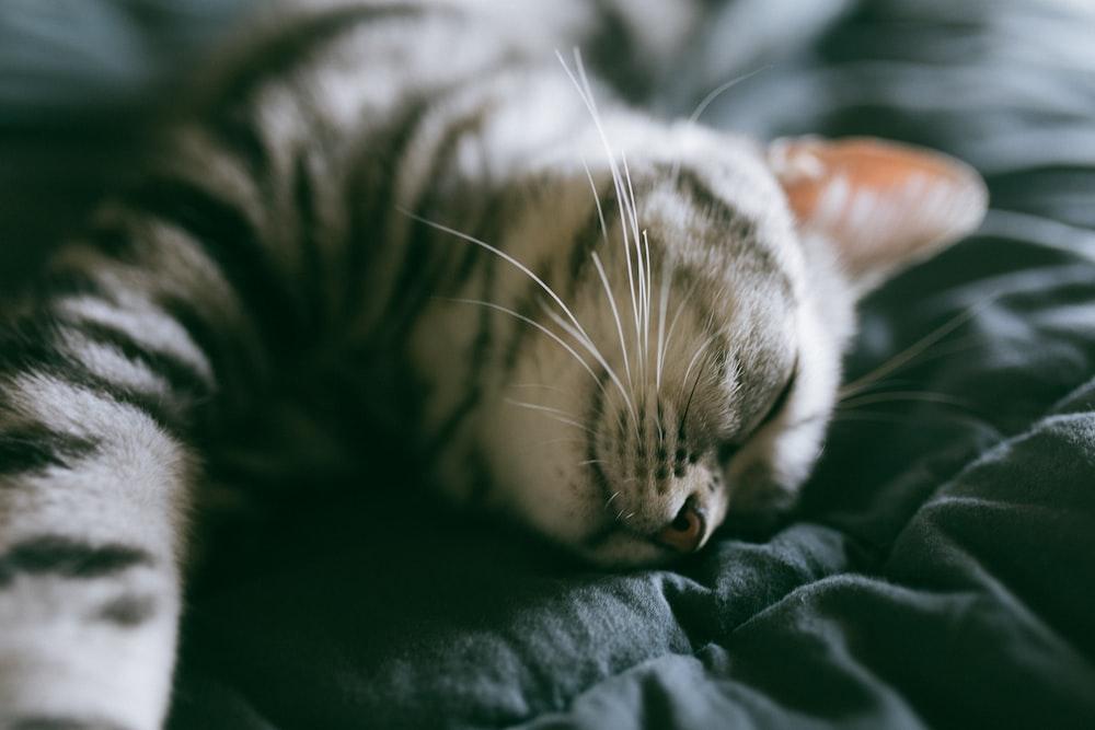 gray tabby cat on linen