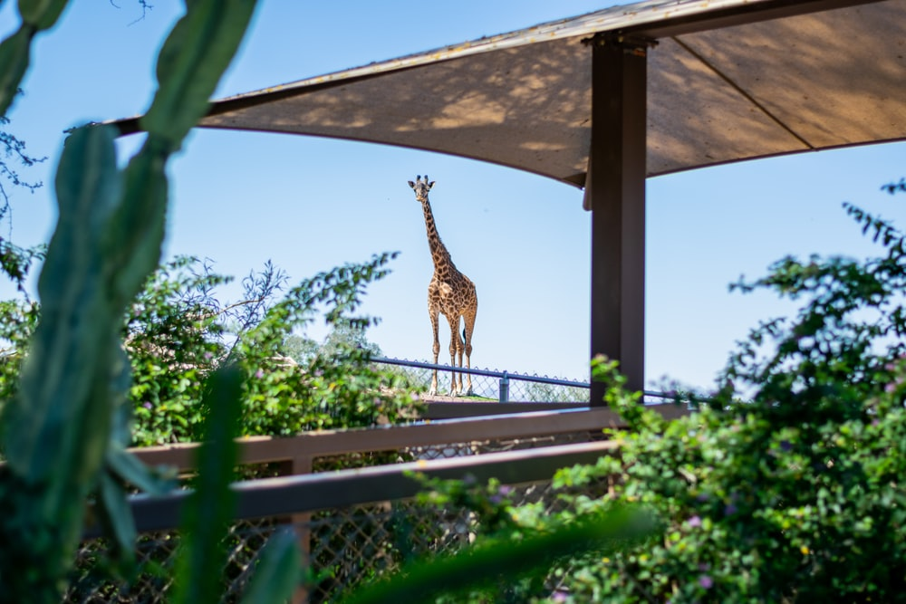 adult giraffe and brown parasol